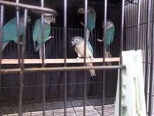 green cheek conures for sale Glenwood Blacktown Area Preview