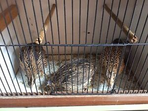 Quails with cage $20 for lot Liverpool Liverpool Area Preview