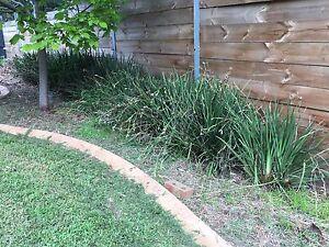 Free plants - Liriope Narre Warren North Casey Area Preview