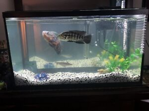 Fish tank with 2 large fish + 1 small one