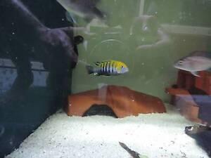 African Cichlids Catfish and Shrimp Niagara Park Gosford Area Preview