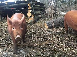 Tamworth Weaners supply wanted