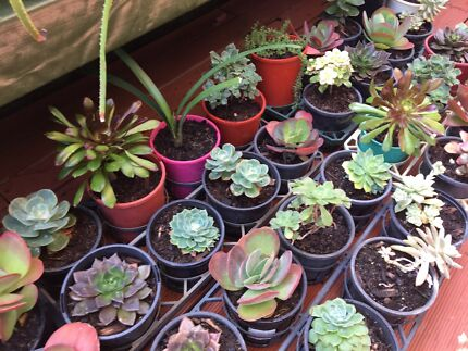 Succulents in 125 - 140 ml pots $5 each