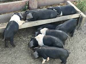 Wessex Saddleback Piglets, Boars & Sows Cedar Creek Gold Coast North Preview