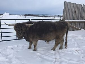 ZUES 5yr old HIGHLAND BULL REGISTERED