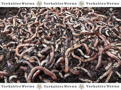 500g Composting Worms 'YORKSHIRE-WORMS' Compost Wormery Fishing Reptile Worms
