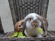 Purebred Dwarf Lop Rabbits East Lismore Lismore Area Preview