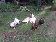 https://m.facebook.com/Krystals-chooks-for-sale-ducks-eggs-124431 Ravenshoe Tablelands Preview