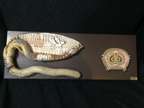"Antique Denoyer Geppert Giant Earthworm Anatomical Biology Model Anatomy 31"""