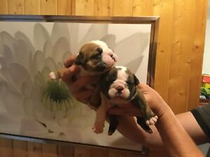 English bulldog ckc PURE RACE  bouledogue anglais enregistré CCC