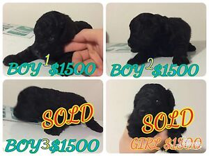 Pure toy poodle for sale Pimpama Gold Coast North Preview