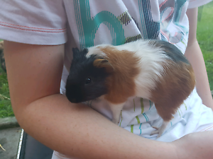 Baby guinea pigs for sale Ryde Ryde Area Preview