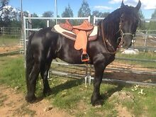 Friesian Stallion at Stud Yetman Inverell Area Preview