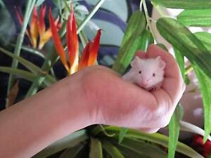 Baby Mouse White Fluffy Female Brookdale Armadale Area Preview