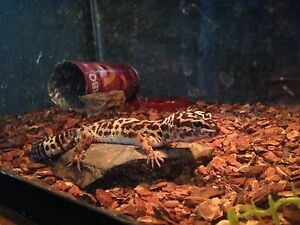 Leopard gecko and crescent gecko London Ontario image 1