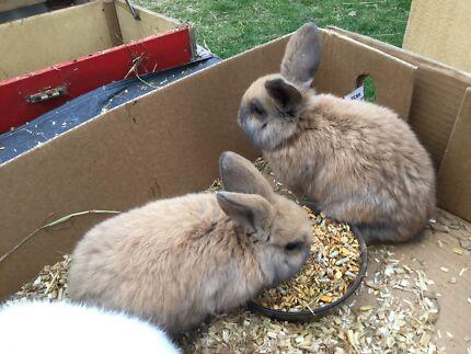 Mini lopp bunnies