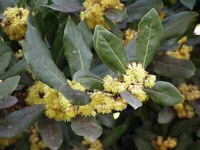 Laurus nobilis | Bay Laurel | Sweet-Bay | Bayleaf | 10_Seeds