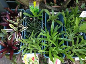 BROMELIAD SALE! Clearing heaps of stock! Terrigal Gosford Area Preview