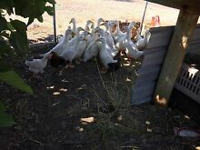 Pekin duck for sale Neergabby Gingin Area Preview