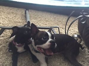 Pure Bred Boston Terrier Puppies Coming in May
