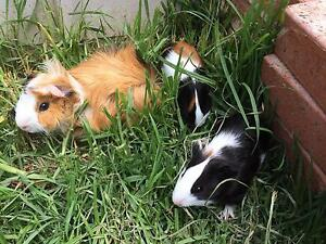 Female Guinea pig babies Berkeley Vale Wyong Area Preview