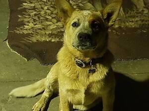 Red Heeler Pup Healesville Yarra Ranges Preview