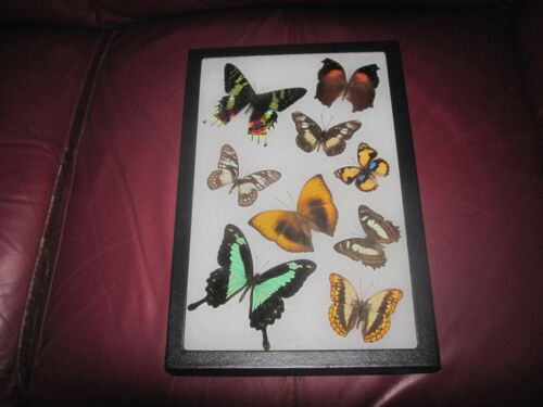 """9 real mounted butterflies framed 8x12"""" riker  mount collection #8x12-22"""