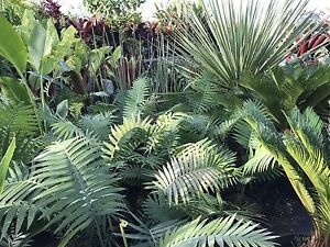 Dioon spinosum rare mexican wax cycad Berry Shoalhaven Area Preview