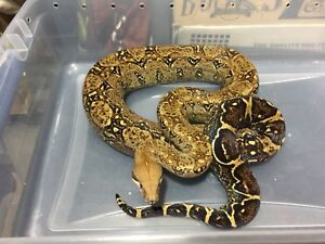 Boa Constrictor Snake with Enclosure