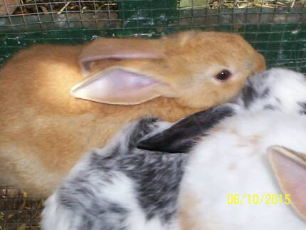 Flemish Giant Cross New Zealand White Hawthorn Mitcham Area Preview