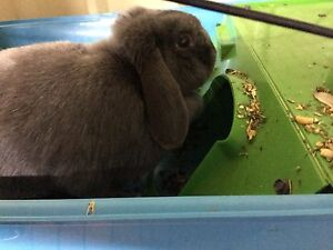 Mini lop rabbit Bankstown Bankstown Area Preview