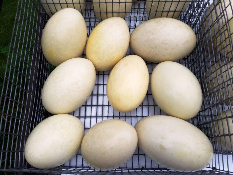 "Rhea Eggs 8 Medium Grade A 13"" to 13.75"""