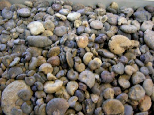 Ammonite fossils hematite replacement Prolyelliceras  1/2 pound 80+ pieces