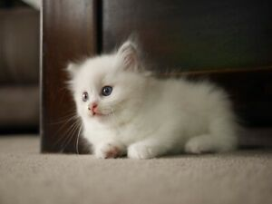 Ragdoll Kittens for Sale (Registered breeders)