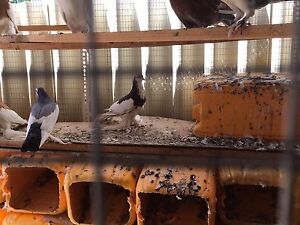 Pigeons for sale Canning Vale Canning Area Preview