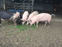 Pigs for sale Saddleback X Large White Waukivory Gloucester Area Preview