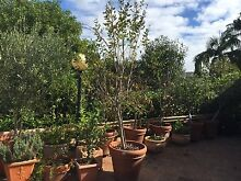 Pomegranate Tree 2.5m with fruit Applecross Melville Area Preview