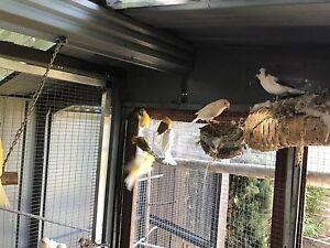 Canaries Bundoora Banyule Area Preview