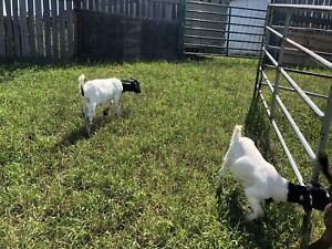 Boer goats for sale females and males