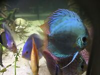 Large Discus fish to sale