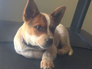 Red Cattle dog female (found new home pending pick up) Sutton Forest Bowral Area Preview