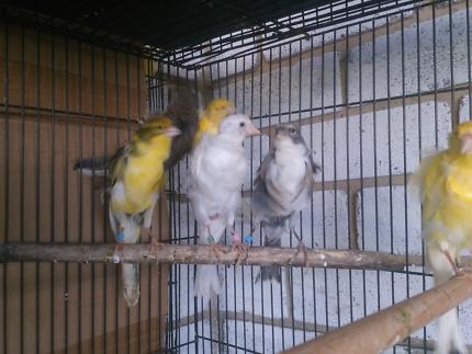 Frill canary