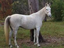 13yr old station breed mare Howard Fraser Coast Preview
