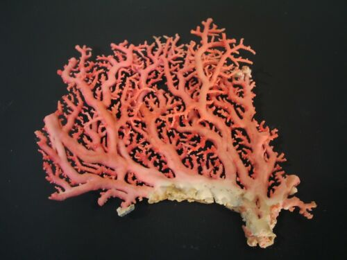 Spectacular...STYLASTER CORAL~119.9mm~Marine Life