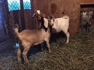 Two boer goat bucklings available