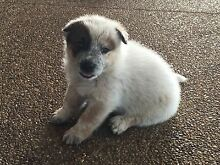 Red Cattle Dog Pups for Sale Alton Downs Rockhampton Surrounds Preview