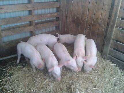 Piglets for sale Borenore Cabonne Area Preview