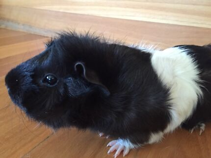 Female guinea pig  - 1 year old West Pymble Ku-ring-gai Area Preview