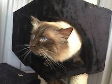 Pedigree Chocolate Point male ragdoll looking for his forever hom Hartley Lithgow Area Preview