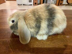 Mini Lop Rabbits - Both female 8 weeks old